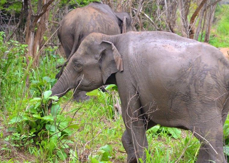 Habarana Hurulu_Eco Park_Sri Lanka_elephant safari_5.jpg