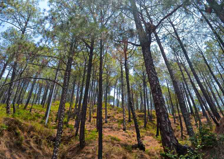 Pines_Kasauli_2.jpg