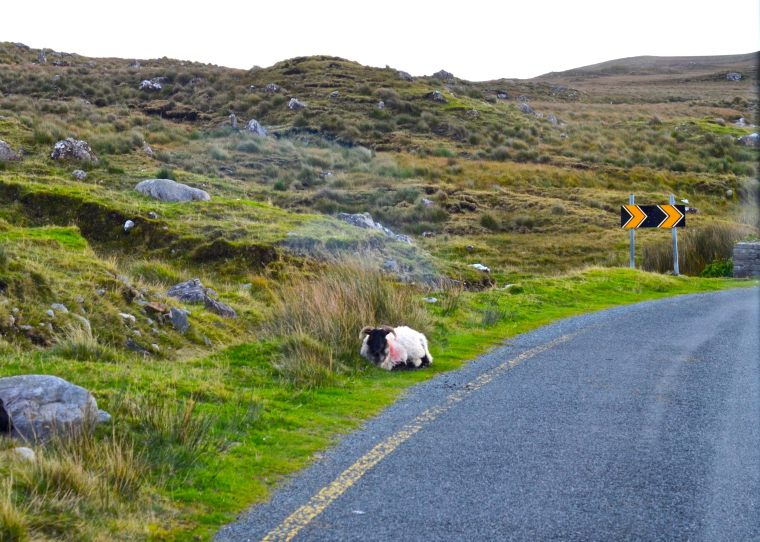 Connemara_Ireland_sheep_1