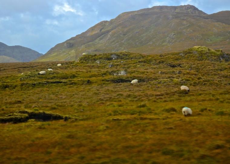 Connemara_Ireland_sheep_2