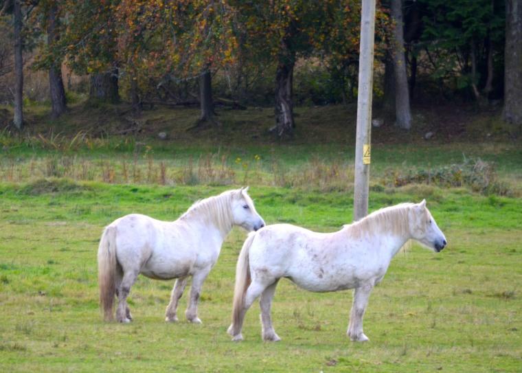 Isle of Skye_Connemara pony