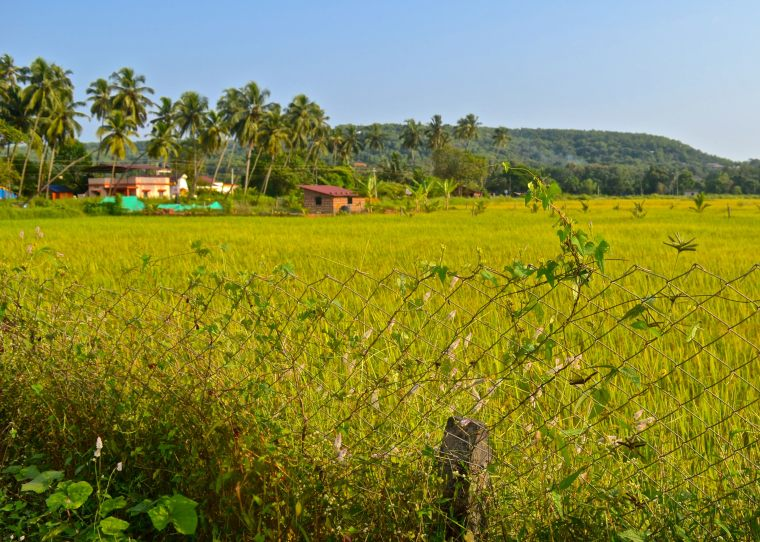 Goa_Rural Landscape_8